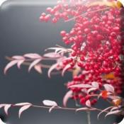iPhone、iPadアプリ「動く・はなといろカレンダー - そよ風に揺れる美しい花たち」のアイコン